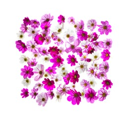 cosmos head flowers  frame on white background
