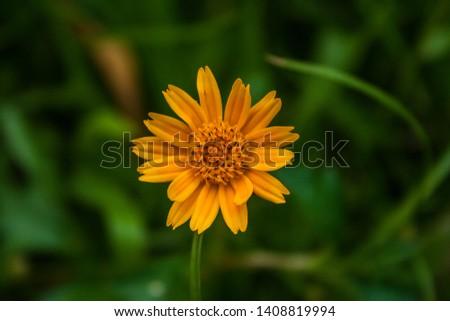 Cosmos, Mexican aster, Botanical name: Cosmos bipinnatus. Khulna, Bangladesh. #1408819994