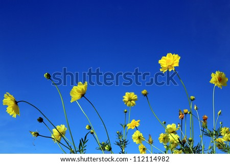 Cosmos on sunny day