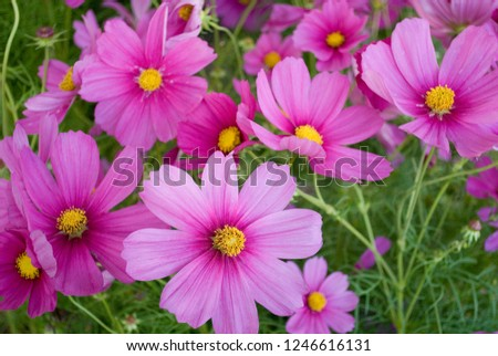 Cosmos or Cosmea plant, big pink flowers, in full bloom, Italy