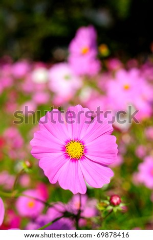 Cosmos pink flower Family Compositae #69878416
