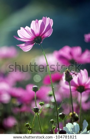 cosmos purple flowers in the morning sun.