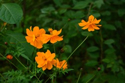 Cosmos sulphureus. Bright flowers with orange petals on dark green background