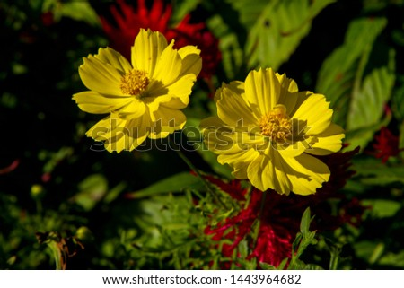 Cosmos sulphureus is also known as sulfur cosmos and yellow cosmos