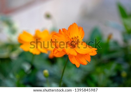 Cosmos sulphureus, Sulfur Cosmos, Yellow Cosmos in Bloom, bunch of bright orange flowers