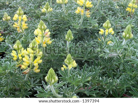 Costa floreciente amarilla Bush Lupine en la costa delnacional de Reyes de la punta - stock photo