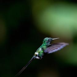 Costa Rica, Hummingbird flying, dark background