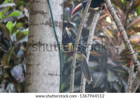 Costa Rica Toucans #1367964512