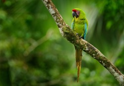 Costa Rica wildlife. Ara ambigua, green parrot Great-Green Macaw on tree. Wild rare bird in the nature habitat, sitting on the branch in Costa Rica. Wildlife scene in tropic forest.