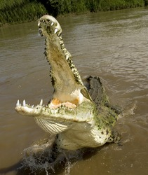costa rican american crocodile ,huge aggressive adult male called tornado tropical river creek attacking with mouth open showing numerous huge teeth , tarcoles , jaco, costa rica, central america
