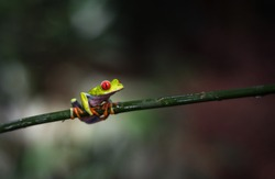 Costa Rican Red Eyed Treefrog (Agalychnis callidryas) on a tree branch. Frogs Heaven, Costa Rica, Central America.