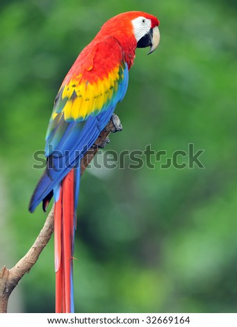 costa rican scarlet macaw, corcovado nat park, central america, colorful parrot bird