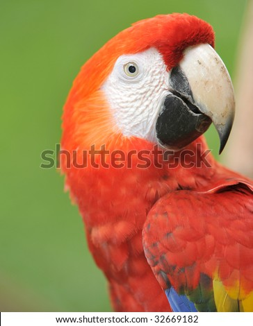costa rican scarlet macaw, tarcoles, jaco, costa rica, latin america. colorful exotic parrot bird in lush tropical setting
