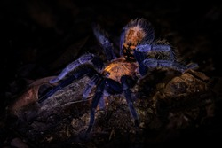 Costa Rican Suntiger Tarantula - Davus ruficeps is a species of spiders in the family Theraphosidae (tarantulas), formerly included in Cyclosternum, Black and blue big spider from Costa Rica