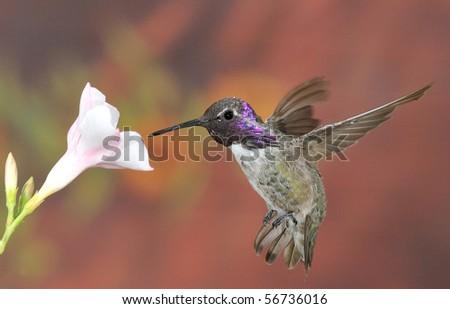 Costa's hummingbird,Palm Springs,CA,USA.