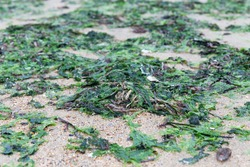 costal beach of Yantai with seaweed