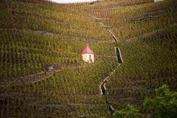 Cote rotie vineyard in Ampuis