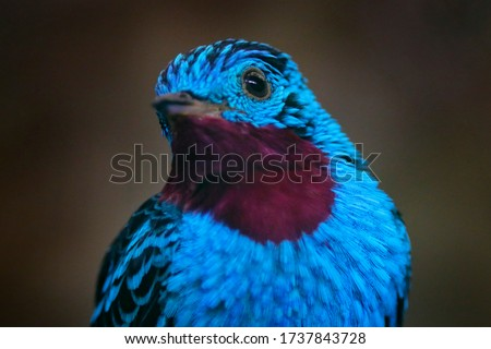 Cotinga cayana, Spangled Cotinga, exotic rare tropical bird in the nature habitat, dark green forest, Amazon, Brazil. Wildlife scene from jungle. Detail portrait of rare blue bird.