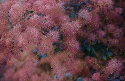 Cotinus coggygria, rhus cotinus, smoky tree, smoky tree, smoky bush or dye sumac are varieties of flowering plants. Flora and horticulture concept