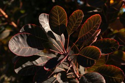 Cotinus Coggygria tree plant leaves, close up.