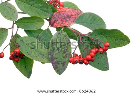 cotoneaster branch with berries isolated on white