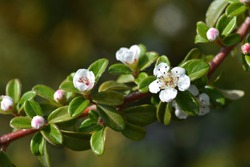 Cotoneaster Coral Beauty - Latin name - Cotoneaster x suecicus Coral Beauty