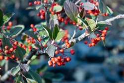 Cotoneaster dammeri, the bearberry cotoneaster. This plant is native to China and produce red berries in winter. This variety is the Cotoneaster coral beauty.