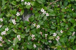 Cotoneaster dammeri white flowers and red berries with green leaves, growing on a stone wall