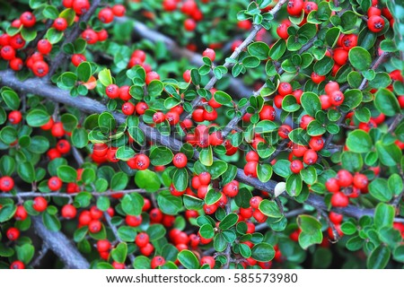 Cotoneaster horizontalis plant with ripe red berries