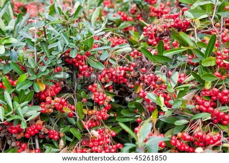Cotoneaster is a genus of woody plants in the rose family, Rosaceae, native to the Palaearctic region