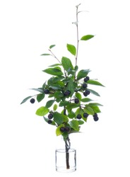 Cotoneaster melanocarpus (black-fruited cotoneaster or black cotoneaster ) in a glass vessel with water