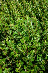 Cotoneaster thickets on a sunny day, side view. Green leaves of cotoneaster in the sun. Cotoneaster bush close-up.
