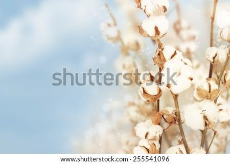 Cotton background.
