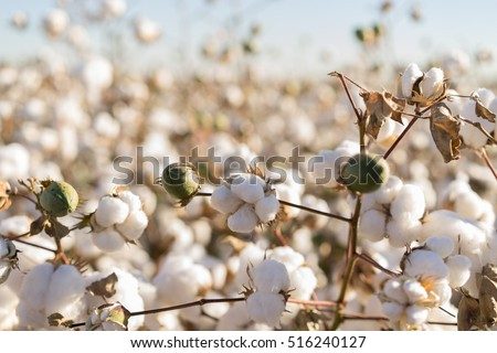 Cotton ball in full bloom - agriculture farm crop image #516240127