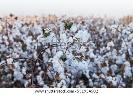 Cotton balls on the plant ready to be harvested , Israel .