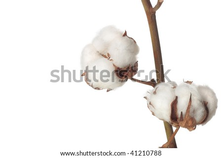 cotton bolls on white background