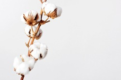 Cotton branch on white background. Delicate white cotton flowers. Light cotton background, flat lay.