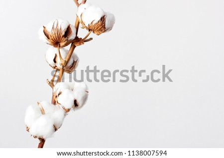 Cotton branch on white background. Delicate white cotton flowers. Light cotton background, flat lay. #1138007594