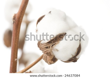 Cotton Closeup