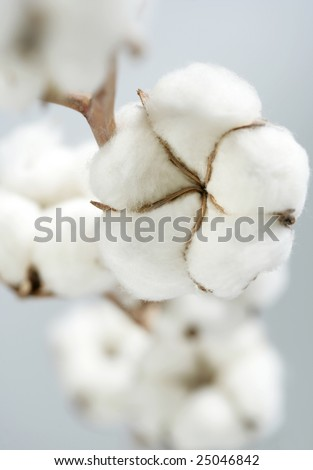 cotton crop - stock photo