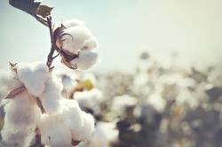 Cotton crop landscape with copy space area