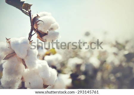 Cotton crop landscape with copy space area #293145761