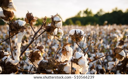 Cotton Field #510566239