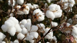 Cotton field background ready for harvest.