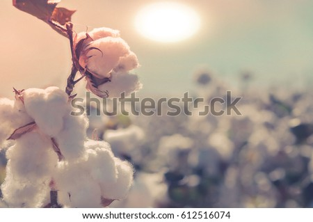 Cotton field, sun setting over farm crop.