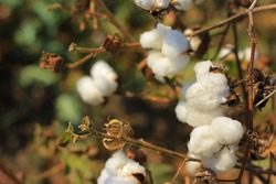 cotton fields india