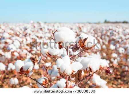 Cotton fields ready for harvesting #738008380