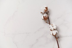 Cotton flower branch on white marble background, top view. Minimal layout