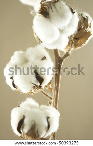 cotton flower detail with brown background