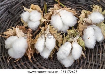 cotton - Gossypium hirsutum L. in Wicker basket